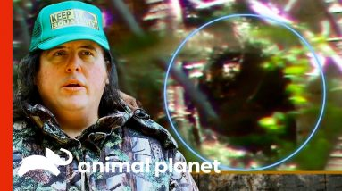 Man Might Have Filmed A Baby Sasquatch Sleeping On A Tree | Finding Bigfoot